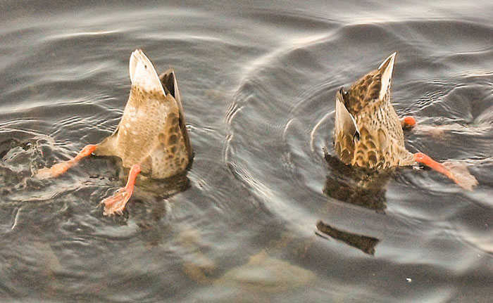 Ducks Duck Diving