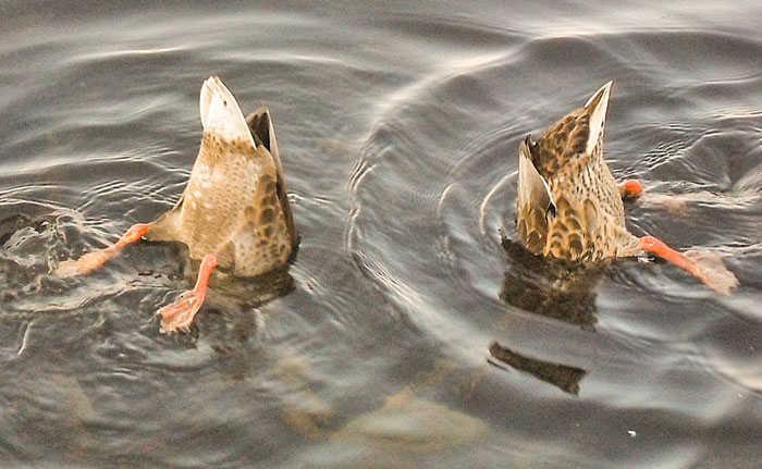 Ducks Duck Diving